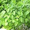 8Myata  Peppermint Leaves 50gr  buy, review, comments, online