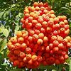 8Rybina  Mountain Ash berry 50gr  buy, review, comments, online